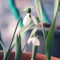 """フォルムはまさに""""雪の雫""""。春の訪れを感じさせてくれる、スノードロップとは?の画像"""