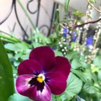 柵にビオラを掛けておしゃれな庭にしよう!の画像