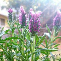 ラベンダーでセンスのあるお庭にしよう!の画像