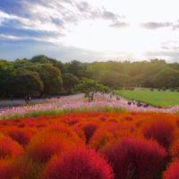夏と秋、二つの季節で二度楽しめるコキアの柵を作ろう!の画像