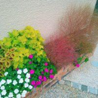 他の植物を映えさせるコキアのフェンスの画像
