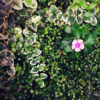 センスよく日々草をまとめてみよう!の画像