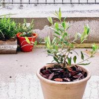 オリーブの木の水やり 季節別の頻度は?鉢植えと地植えで違う?の画像