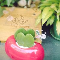 バレンタインのプレゼントに「ハート形の植物」を貰ったら?ホヤ・カーリーの育て方と魅力の画像