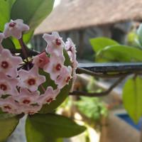 花を咲かせる多肉植物!綺麗な花6選の画像