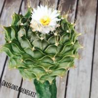 1属1種のサボテン『オブレゴニア・デニグリー(帝冠)』とはの画像