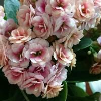 母の日目前!日本中の「お母さん」へ。カランコエの育て方を予習しませんか??の画像