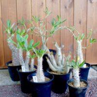 パキポディウムってどんな塊根植物?人気の種類は?どんな特徴がある?の画像