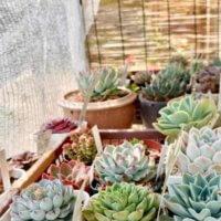 暑い時期は注意!多肉植物の夏の管理は置き場所と水やりに気をつけるべし?の画像