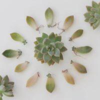 多肉の新芽って可愛すぎる♡ 秋になったら葉挿しに挑戦してみませんか? の画像