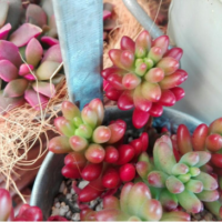 秋は多肉も美しく紅葉する季節。赤やピンク、紫色に染まる多肉植物10選の画像