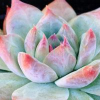 色とりどりで美しい多肉植物のエケベリアの画像