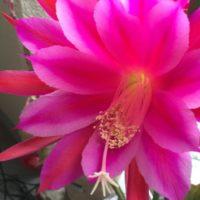綺麗な花を咲かせるサボテンの人気3種類をご紹介!の画像