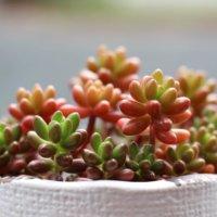 多肉を赤く染めるコツとは?紅葉するおすすめ多肉植物10種類の画像