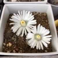脱皮する植物!リトープスの育て方の画像