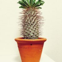 多肉植物の図鑑一覧からレアな種類を3つご紹介!の画像