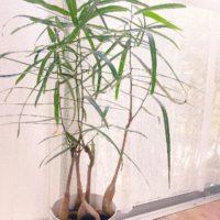 こんな種類もあります。大型の多肉植物の画像