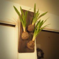 スペースがない方必見!壁掛けにおすすめな観葉植物のご紹介!の画像