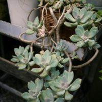 知ってた?人気の多肉植物「朧月」の趣ある魅力の画像