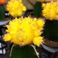 花が咲くことも!サボテンの上手な植え方の画像