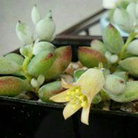 多肉植物の花を咲かせる育て方の画像