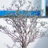 販売店も徐々に増える、塊根植物とも呼ばれるコーデックスの画像