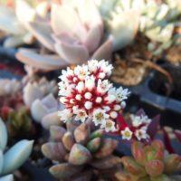 花が美しい多肉植物3選の画像