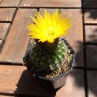 綺麗な花を咲かすサボテンの種類について紹介!の画像