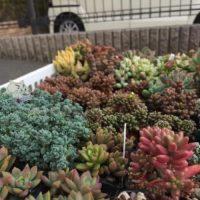 お庭でも楽しみたい!多肉植物をお庭に植えるコツの画像