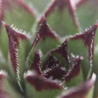 紅葉することも?多肉植物センペルビウムの画像