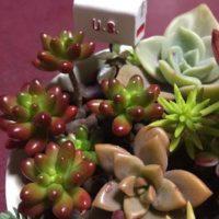 多肉植物の寄せ植えを通販で購入しよう!の画像