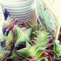 多肉植物のクラッスラの種類一覧!の画像