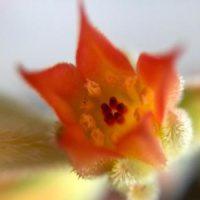 花を咲かせたい!多肉植物の栽培の画像