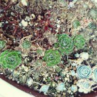 茎の先から増える多肉植物、子持ち蓮華の画像