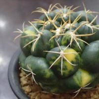 育てやすくて人気のサボテン3種!の画像