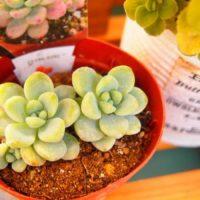 多肉植物らしくまるまるとした葉っぱが魅力のロッティー!の画像