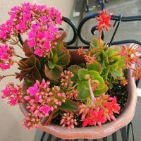 花も咲かせるカランコエの寄せ植えの仕方!の画像