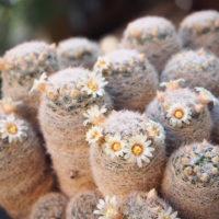 花を咲かせやすいサボテンって?販売店を探そうの画像