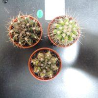 丸くてかわいい!玉サボテンの種類を紹介の画像