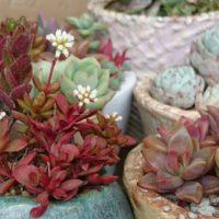 紅葉が彩り鮮やかな「赤い」多肉植物5種紹介!の画像