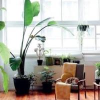 お部屋のシンボルツリーにしたい、ひと鉢で抜群の存在感をもつ観葉植物5選!の画像