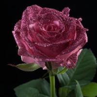 スゴイサプライズ!!こんなバラがあったなんての画像