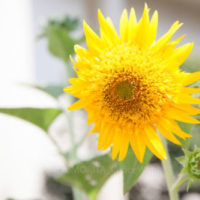 ヒマワリの切り花を長持ちさせるコツは? タネを取るには? など ヒマワリにまつわるトリビア4題。の画像