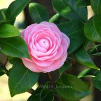 植木のまち 埼玉県「安行」めぐり(2)  2000種類以上の植物が迎える  「埼玉県 花と緑の振興センター」の画像