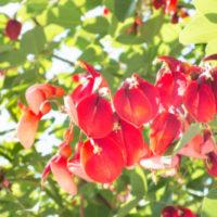 夏のヘビロテ曲「島唄」に出てくる デイゴの花ってどんな花?の画像