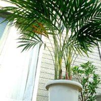 お部屋のインテリアにもなる人気の観葉植物をご紹介!の画像