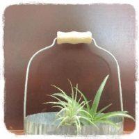 巷で大人気!不思議な植物・エアプランツを育ててみよう!の画像