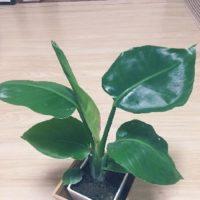 アジアンテイストの部屋にするための観葉植物の画像
