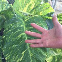 観葉植物の種類には大型のものがあります!の画像