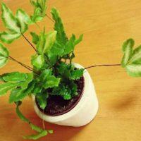 観葉植物のプテリスについての画像
